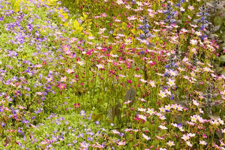 Saxifraga paniculata, Aubrieta and bugle flowers 版權商用圖片