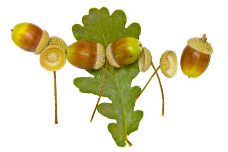 Acorns and dried leaf