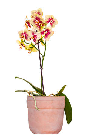 Orchid (Orchis) in the ceramic pot