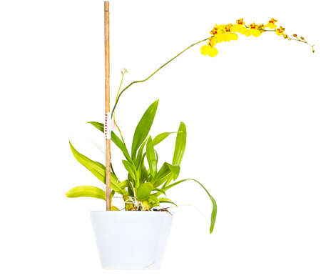 Dancing Orchid (Oncidium) Stock Photo