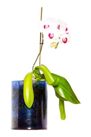 dff image: Orchid (Oncidium)