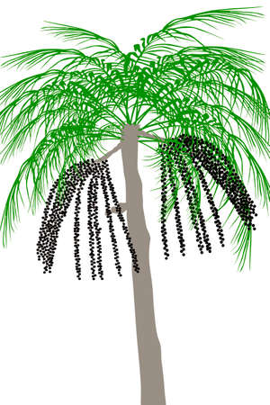 Acai palm tree (Euterpe oleracea) - illustration Stock Photo