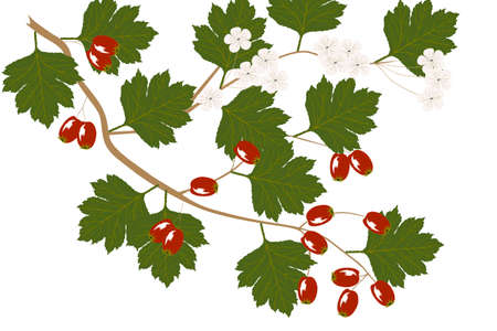 Hawthorn - illustration