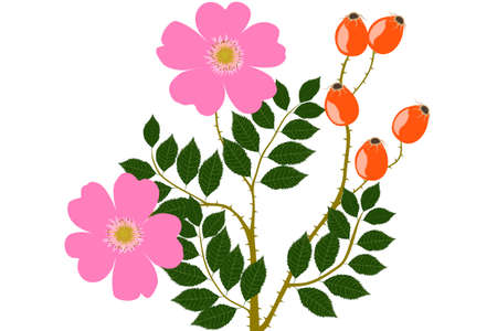 Wild Rose fruits and flower- illustration Stock Photo