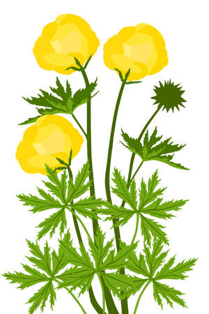 Globe-flower (Trollius europaeus) - illustration
