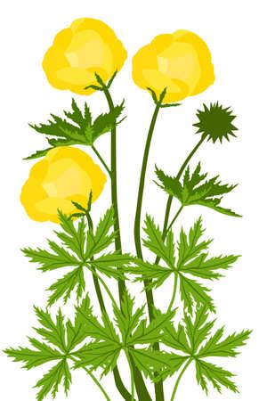 Globe-flower (Trollius europaeus) - illustration