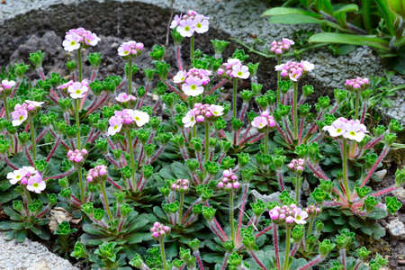 dff image: Androsace flowers in the garden. Dff image.