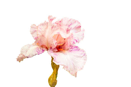 Pink Iris isolated with quotclipping pathquot. Dff image.