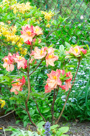 Colorful Azaleas in the garden