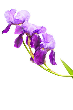 Violet Iris isolated with clipping path Stock Photo