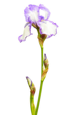 Iris isolated with clipping path