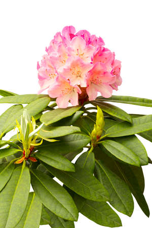 Pink rhododendron isolated  Stock Photo