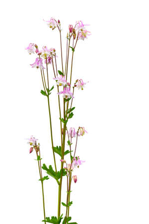 Pink Columbine Aquilegia vulgaris Isolated on white