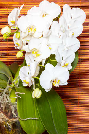 dff image: White orchid Orchis on background