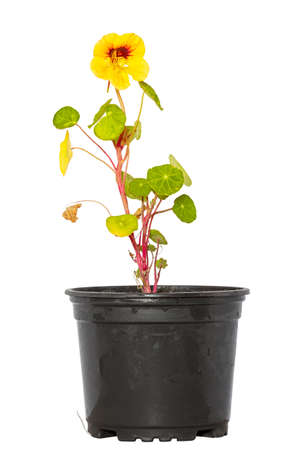 Nasturtium in flower pot Stock Photo