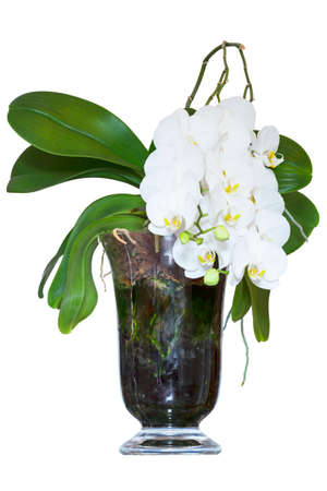 White orchid in the glass pot Stock Photo