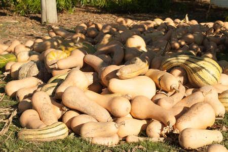 vegetable plot pumpkin