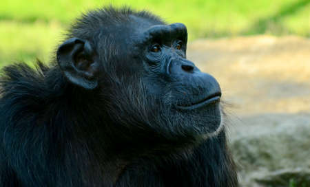 detail of a chimpanzee in a zoo photographed in summer Stock Photo
