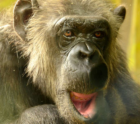 detail of a chimpanzee in a zoo photographed in summer
