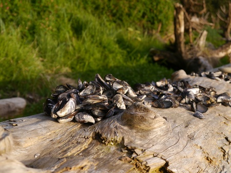 Mussel shells piled on driftwood log