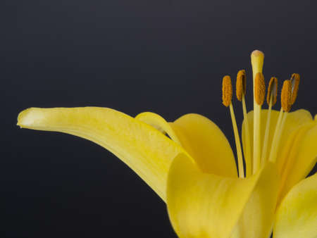 Yellow  lily close-up