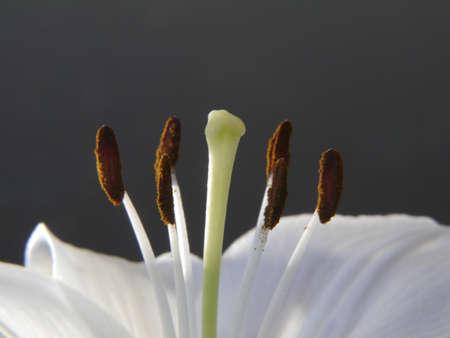 lirio blanco: Lirio blanco, close-up