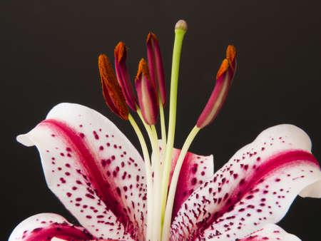 stargazer lily: Stargazer Lily - Macro Close Up Stock Photo