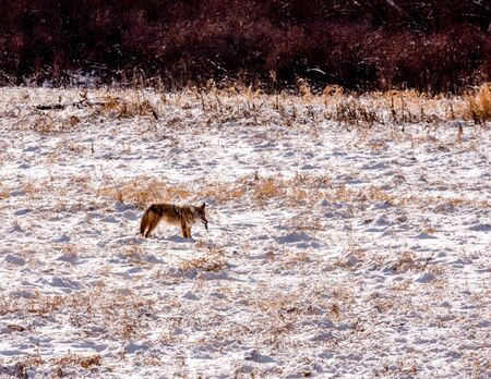 vole: Coyote with prey, a vole, in the snow