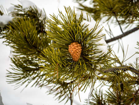 evergreen branch: Single, solitary pinecone on evergreen branch surrounded by snow