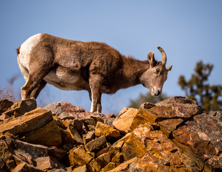 peering: Female bighorn sheep peering down from rocky outcropping