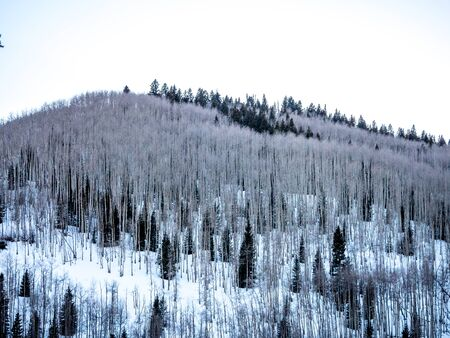 evergreens: Winter scene with aspens, evergreens and snow