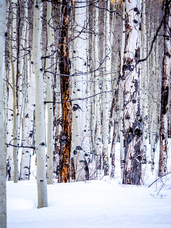portrait orientation: Bare aspen trunks in winter, portrait orientation