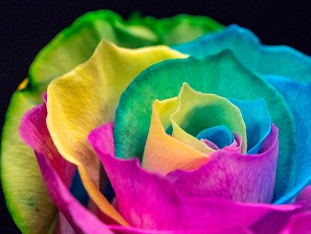 LGBT pride symbol, multicolored rose closeup