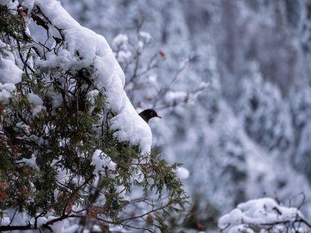 evergreen branch: robin única que asoma detrás de fuertes nevadas en la rama de árbol de hoja perenne Foto de archivo