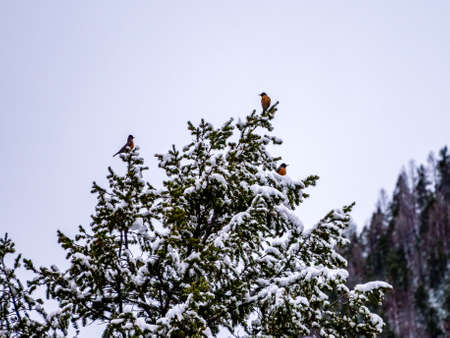 robins: Robins in a snow covered tree in winter