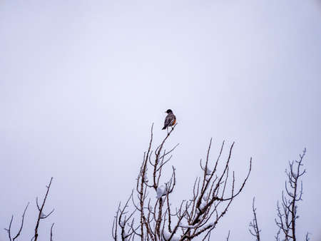 redbreast: Solitary robin in winter at tip of tree branch