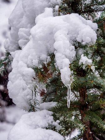 evergreen branch: Primer plano de spnow rama perenne cargado de carámbanos Foto de archivo