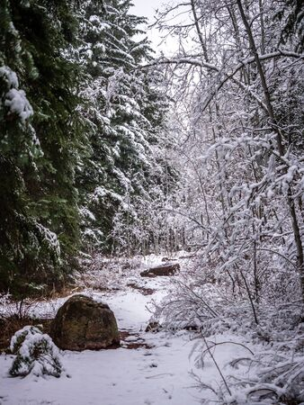 evergreens: Evergreens & Deciduous Trees Flanking Snowy Path