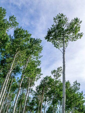 canopy: Upward View of Blue Sky, Aspen Trunks & Canopy