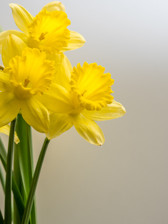 Bunch of daffodils on a white background