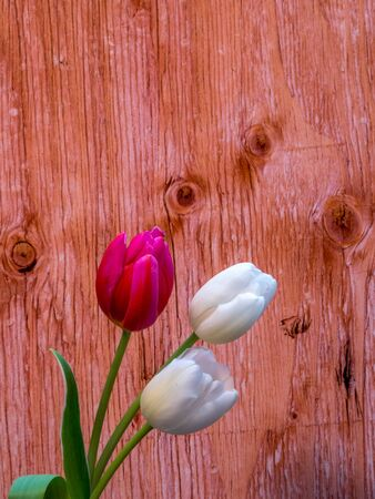 White and red/pink tulips with copy space Stock Photo