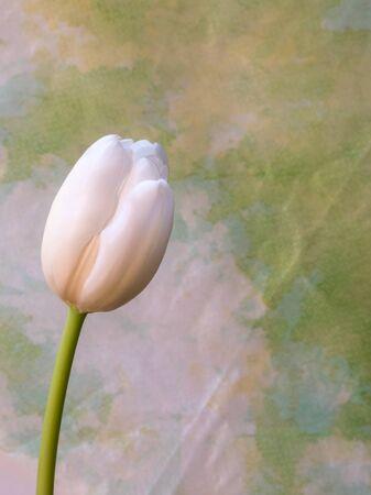 White tulip flower, portrait orientation Stock Photo