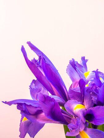 bunch of iris on white background, portrait orientation