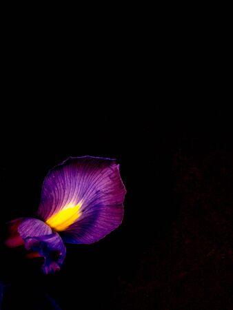 Single purple iris on plain black background
