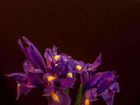 Bunch of iris on black background