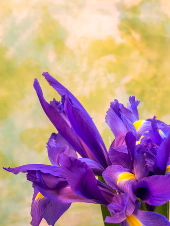 bunch of iris on yellow and green background, portrait orientation Stock Photo