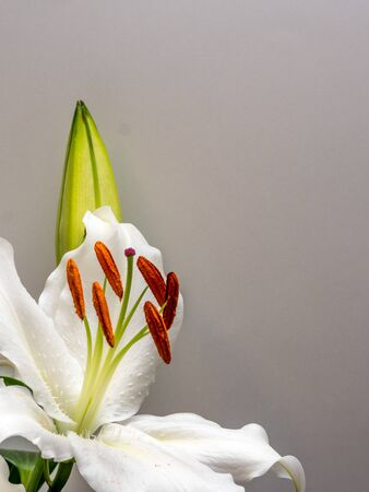 Easter lily with copy space on plain white Stock Photo