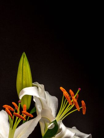 Easter lily with copy space on plain black background