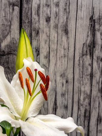 Easter lily with copy space