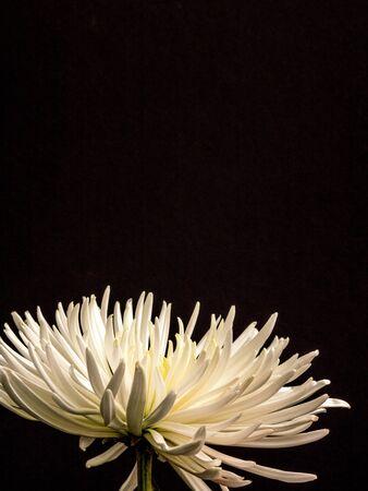 Beautiful Asteraceae on black, portrait orientation